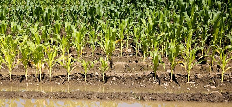 玉米不结子粒是怎么回事