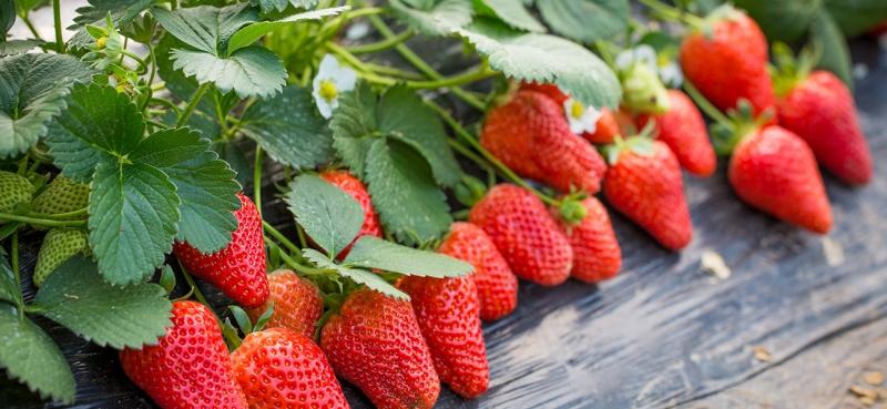 """草莓""""穿衣""""价格翻倍"""